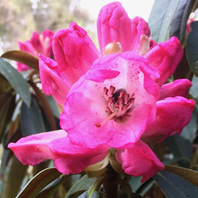 Rhododendron Day Plant Sale
